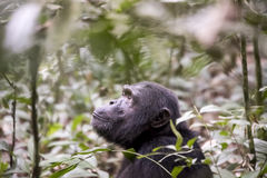 Wild Chimpanzee in Kibale National Forest, Uganda, Africa Stock Images