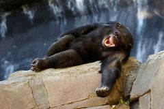 Chimpanzee laughing stock photography