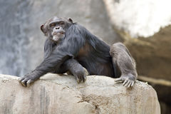 Chimpanzee Laying Down Stock Photos