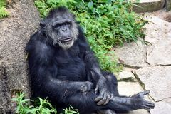 Chimpanzee leaning on a rock Royalty Free Stock Photos