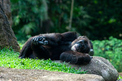 Chimpanzee lies on the grass. In the jungle royalty free stock photo