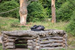 A chimpanzee lies on a wooden scaffolding royalty free stock photography