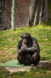 Chimpanzee in Lisbon Zoo Royalty Free Stock Photography