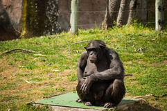 Chimpanzee in Lisbon Zoo Stock Photo