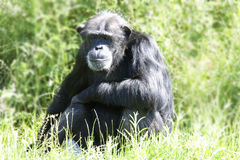 Chimpanzee in long grass. A black and grey chimpanzee sitting in long grass in sun stock photos