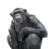 Chimpanzee looking with attention. Chimpanzee looking at something with extreme attention isolated on white Stock Photo