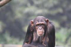 Chimpanzee. Looking back stock image