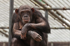 Chimpanzee looking back at you Stock Photography