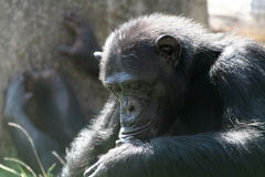 Chimpanzee looking down. Closed eyes Royalty Free Stock Photography