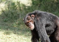 A Chimpanzee looking to the camera, Ol Pejeta Conservancy Royalty Free Stock Photos