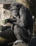 Chimpanzee Looking at You. A female chimpanzee sits on a log while munching on broccoli Stock Images