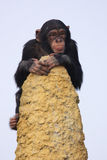 Chimpanzee on the lookout Stock Images