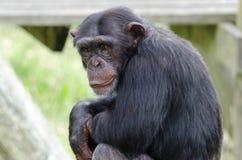 Chimpanzee. A Chimpanzee looks around its territory Stock Photography