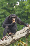Chimpanzee. Looks out from tree stock images