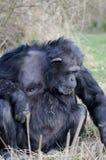Chimpanze eating Stock Image