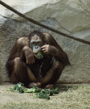 Chimpanzee Lunch. A chimpanzee munching on leafy vegetables royalty free stock images