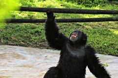 Chimp mouth open looking up Royalty Free Stock Image