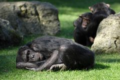 Chimpanzee lying and sleeping Stock Photo