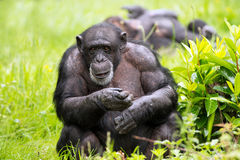 Chimpanzee. Male Chimpanzee against a background of light green grass and foliage stock images