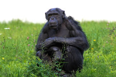 Chimpanzee thinking Stock Photography