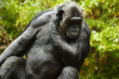 Chimpanzee male. Royalty Free Stock Photo