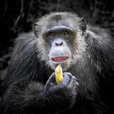 Chimpanzee males were eating. Chimpanzee males were eating bananas royalty free stock photo