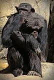 Chimpanzee Stock Photography