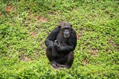 Chimpanzee mokey sit on stump tree with grass. In jungle royalty free stock image