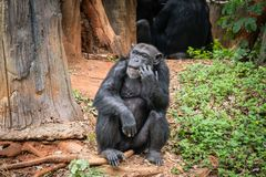 Chimpanzee mokey sit on stump tree with grass. In jungle stock image