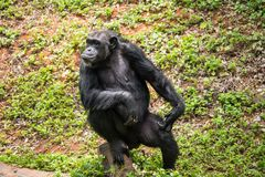 Chimpanzee mokey sit on stump tree with grass. In jungle royalty free stock photos