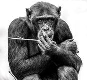 A Chimpanzee Moment Royalty Free Stock Image