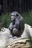 Chimpanzee monkey. Chimpanzee resting in the shade of a tree Royalty Free Stock Photo