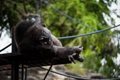 Chimpanzee monkey lying and sleeping. Near climbing rope in the zoo with tree natural background. Animal in Relax lifestyle Stock Photo