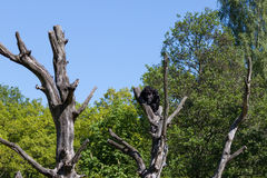 Chimpanzee monkey on a tree over blue sky Stock Images
