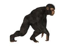 Chimpanzee Monkey on White Royalty Free Stock Image