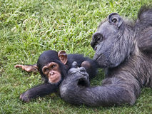 Chimpanzee Mother and Baby. Chimpanzee mother playing with her baby, lying on the grass on the ground Stock Photo