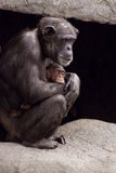 Chimpanzee mother and baby. A mother chimpanzee protecting her young Royalty Free Stock Photos