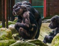 Chimpanzee mother holding her baby, chimpanzees with alopecia areata, common animal diseases stock photos