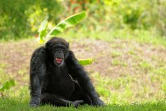 Chimpanzee with mouth open. Chimpanzee laughing in a South Florida zoo stock photo
