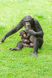Chimpanzee mum and baby. The Chimpanzee mum and baby stock images