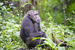 Chimpanzee in jungle Royalty Free Stock Photo