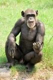 Chimpanzee naughtyness stock photos