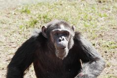 A Chimpanzee in Ol Pejeta Conservancy, Chimpanzee Sanctuary Stock Photography
