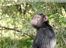 A Chimpanzee at Ol Pejeta Conservancy. Chimpanzees are the closest living relatives to humans Stock Photos