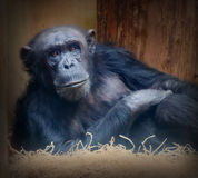 The Chimpanzee. Royalty Free Stock Photos