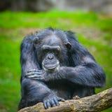 Chimpanzee. Old Chimpanzee watching people from inside closure Stock Photo