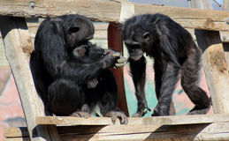 Chimpanzee. A pair of chimpanzees in the zoo Royalty Free Stock Photography