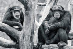 Chimpanzee Pair. Elder Chimpanzee Males Sitting on Tree Branches stock image