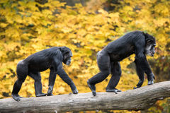 Chimpanzee Pair III. Two Male Chimpanzees Walking on Tree Branch Against Background of Yellow Leaves stock photography