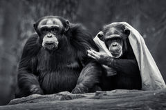 Chimpanzee Pair IV. A Frontal Portrait Of An Affectionate Chimpanzee Pair royalty free stock photo